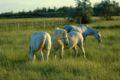 3 horses on pasture.JPG