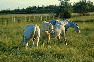 three horses standing on a pasture in the Camargue