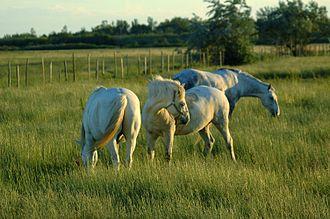 Camargue horse - Camargues