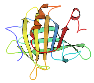 Beta-lactoglobulin - Structure of a β-lactoglobulin subunit (PDB entry 3BLG)   Ribbons denote the secondary structure, with arrows for beta strands and spirals for alpha-helices. Rendered with Kinemage