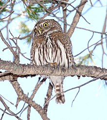 458 - NORTHERN PYGMY-OWL (4-8-2015) humboldt cyn, santa cruz co, az -08 (16875335417).jpg
