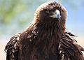 4618 golden eagle face munsel odfw (4438177261).jpg