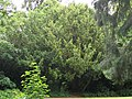 6. Yew (Taxus baccata) (3607666234).jpg