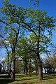 65-103-5006 вікові дуби Гола Пристань.jpg