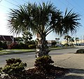 A1A Palm Tree - panoramio.jpg