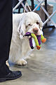 AKC Clumber Spaniel Dog Show 2013.jpg