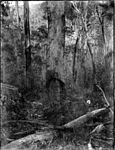 A bush scene with a grave marker carved on an old tree (3575320800).jpg