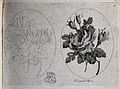 A damask rose (Rosa damascena); two flowering stems, one in Wellcome V0044177.jpg