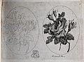 A damask rose (Rosa damascena); two flowering stems, one in Wellcome V0044177.jpg
