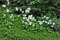 A good year for Avalanche Lilies (9192564731).jpg