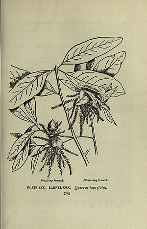 Quercus laurifolia - Image: A guide to the trees (Page 79) (8435922210)