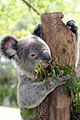 A koala at Featherdale Wildlife Park (6529425991).jpg