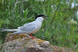 A roseate tern at the Nantucket National Wildlife Refuge, MA. Credit- Amanda Boyd-USFWS (5975057838).jpg