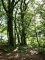 A row of beeches - geograph.org.uk - 1420994.jpg