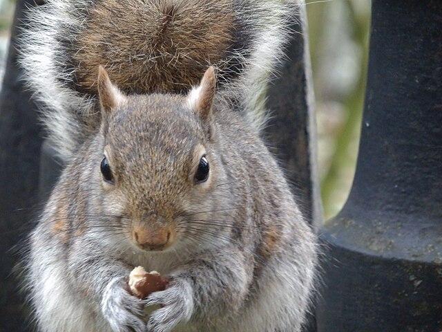 640px-A_squirrel_eating_a_malteser.jpg