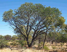 Acacia pruinocarpa habit.jpg