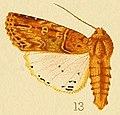 Acanthodica chiripa.JPG