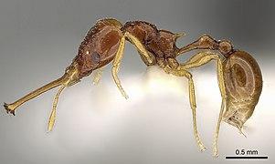 Acanthognathus brevicornis2.jpg