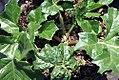 Acanthus mollis Latifolius 0zz.jpg