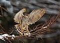 Accipiter nisus 1 (Martin Mecnarowski).jpg