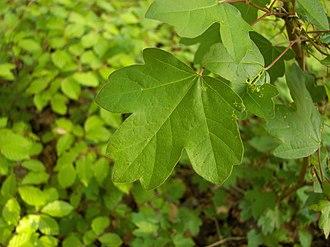 Acer campestre - Image: Acer campestre 001
