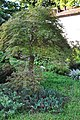 Acer palmatum Japanese Maple პალმისებრი ნეკერჩხალი.JPG