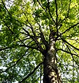 Acer pseudoplatanus -Palmengarten Frankfurt.jpg