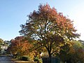 Acers in Torquay - geograph.org.uk - 2142306.jpg