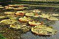 Acharya Jagadish Chandra Bose Indian Botanic Garden - Howrah 2011-01-08 9769.JPG