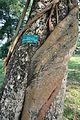 Acharya Jagadish Chandra Bose Indian Botanic Garden - Howrah 2011-01-08 9853.JPG