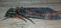Acherontia atropos spore.png