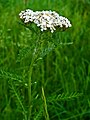 Achillea millefolium 002.JPG