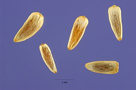 Achillea millefolium seeds.jpg