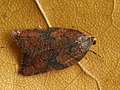 Acleris rhombana - Rhomboid tortrix - Плоская листовёртка сетчатая (40448206475).jpg