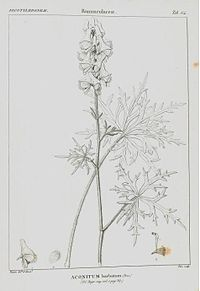 Aconitum barbatum
