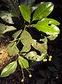Acronychia pedunculata 21.JPG