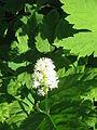 Actaea pachypoda03.jpg