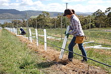 Adding protective covering to new Pinot Noir plantings.jpg