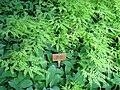Adiantum pedatum - Berlin Botanical Garden - IMG 8643.JPG