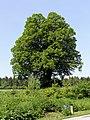 Admont-Krumau - Naturdenkmal 931 - Winterlinde (Tilia cordata).jpg
