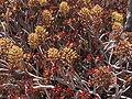 Aeonium arboreum1.jpg