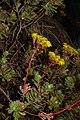 Aeonium spathulatum La Palma.jpg