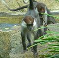 Affe Rotscheitelmangabe Cercocebus torquatus torquatus 05090.jpg