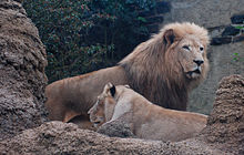 African Lion Panthera leo krugeri Male and Female 2200px.jpg