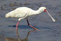 African Spoonbill, Platalea alba at Pilanesberg National Park, South Africa (10578861844).jpg