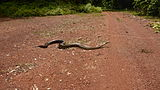 A large African rock python crossing a dirt road