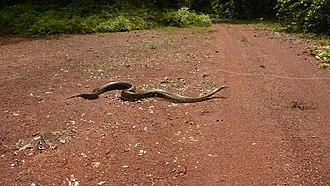 Ivindo National Park - Image: African rock python