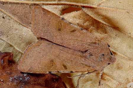 Agrochola lychnidis