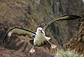 Albatros à bec jaunes.JPG