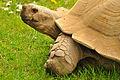 Aldabra Giant Tortoise (1) (8679990075).jpg